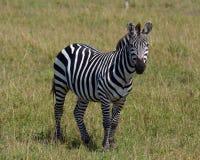 Zebra. Photographed during safari in Kenya Royalty Free Stock Photo