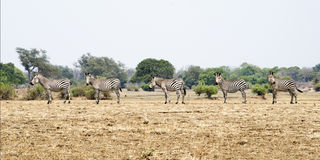 Zebra, pięć, Obrazy Stock