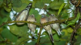 Zebra pigeon perching on the tree. Four young zebra pigeon perching on the tree Royalty Free Stock Image