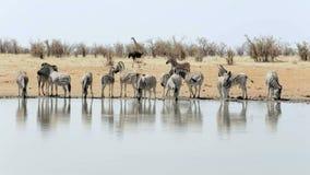 Zebra pije na waterhole zbiory wideo