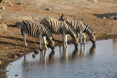 Zebra Pije w Etosha Fotografia Stock