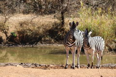 Zebra. Pilanesberg national park South Africa Stock Photo