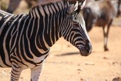 Zebra. Pilanesberg national park South Africa Royalty Free Stock Photo