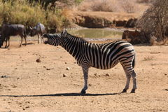 Zebra. Pilanesberg national park South Africa Royalty Free Stock Photos