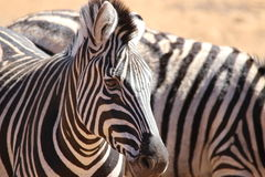 Zebra. Pilanesberg nature reserve  South Africa  Canon 70D Royalty Free Stock Photo