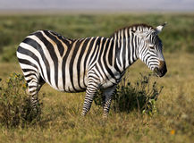 Zebra. Plain zebra grazing  in savanna of Amboseli national park, Kenya Royalty Free Stock Images