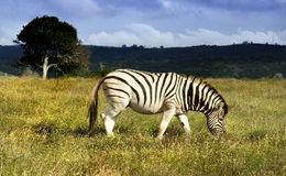 Zebra On The Plains Royalty Free Stock Images