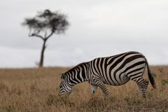 Zebra on plains with Acacia tree in background. Zebra grazing on grassy plains with Acacia tree in background stock images