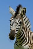 Zebra: Plains Zebra portrait, South Africa Stock Photo