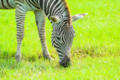 Zebra on the plains Royalty Free Stock Image