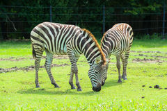 Zebra on the plains Stock Photography