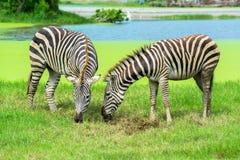 Zebra on the plains Royalty Free Stock Photo
