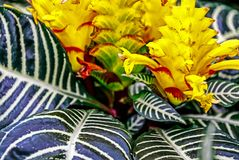 The Zebra Plant, Aphelandra squarrosa ornamental houseplant. The Zebra Plant, Aphelandra squarrosa, is a great ornamental houseplant Stock Image