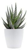 Zebra plant Royalty Free Stock Image
