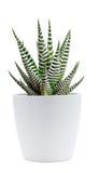 Zebra plant Stock Photo