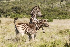 Zebra at play in long grass. Young zebra at play in long dry grass in Addo in south africa Stock Photography