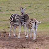 Zebra playing Stock Images