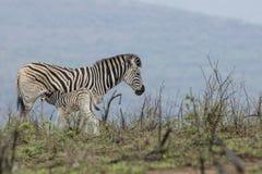 Zebra Południowa Afryka i łydka obrazy royalty free