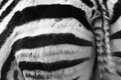 Zebra pośladek i fotografia royalty free