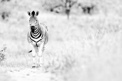 Zebra Południowa Afryka Obraz Royalty Free