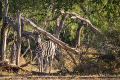 Zebra Południowa Afryka Zdjęcia Stock
