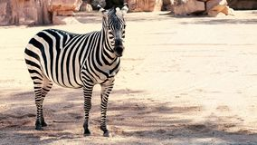 Zebra beside a pond in the middle stock photo