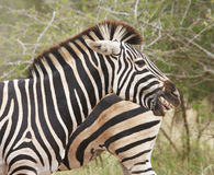 Zebra ponders and yawns. A Zebra ponders and yawns in the field restless of danger Royalty Free Stock Image