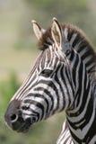 Zebra Portrait. Zebra looking alert with ears pricked royalty free stock images