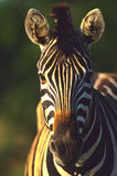 Zebra Portrait. A close up portrait of a zebra head on Royalty Free Stock Photography