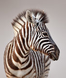 Zebra portrait. Close-up portrait of a baby zebra; Etosha; Equus burchell's Stock Images