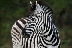 Zebra-Portrait lizenzfreie stockfotografie