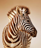 Zebra portrait. Close-up portrait of a  baby zebra;  Etosha; Equus burchell's