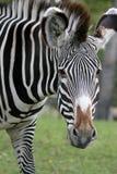 Zebra Portrait. Closeup portrait of a zebra in captivity at the Calgary Zoo, Canada Stock Photography