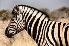 Zebra portrait. In the natural park Royalty Free Stock Photography
