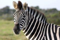 Zebra Portrait Royalty Free Stock Image