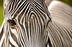 Zebra portrait Stock Images