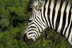Zebra portrait Stock Photography