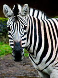 Zebra-Portrait Stockbild