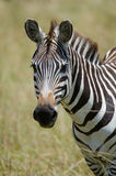 Zebra portrait. Portrait of a Zebra on the plains of the Masai Mara in Kenya, Africa Stock Image