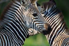 Zebra portrait. A high resolution image of a zebra pattern Royalty Free Stock Photography