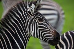 Zebra portrait Royalty Free Stock Photo