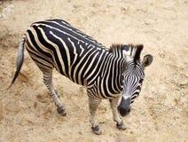 Zebra portrait. A Zebra portrait in the Royalty Free Stock Photo