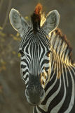 Zebra portrait. Zebra looking straight at the camera ,portrait shot Stock Photo