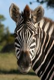 Zebra Portrait. Portrait of a beautiful Burchells Zebra Stock Photography