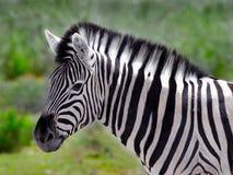 Zebra portrait. Profile of an African zebra Stock Images