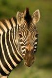 Zebra portrait. Portrait of a Plains (Burchell's) Zebra (Equus quagga), Kruger National Park, South Africa royalty free stock photography