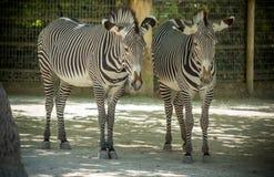 Zebra. Portrait on African savanna Stock Images