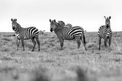 Zebra portrait on African savanna. Safari in Serengeti, Tanzania Royalty Free Stock Images
