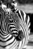 Zebra portrait on African savanna. Safari in Serengeti, Tanzania Royalty Free Stock Photos