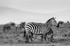 Zebra portrait on African savanna. Safari in Serengeti, Tanzania Royalty Free Stock Photo